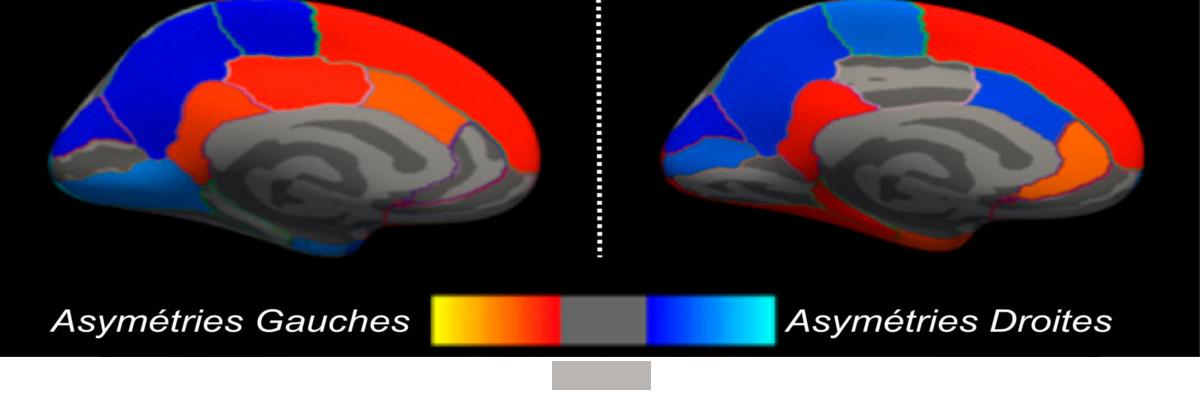 Permalien vers:Un pas supplémentaire vers la caractérisation des asymétries anatomiques: 17000 cerveaux passés au crible
